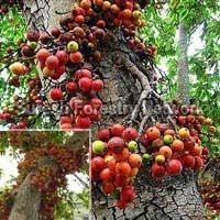 Ficus Racemosa