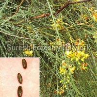 Parkinsonia Aculata