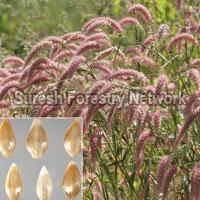 Pennisetum Pedicellatum