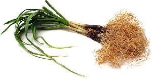 Fresh Garlic Root