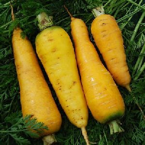 Fresh Yellow Carrot