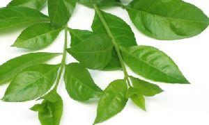 Mehandi Leaves