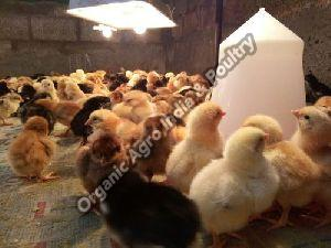 Giriraja Chicks