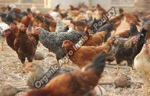 Giriraja Live Hen