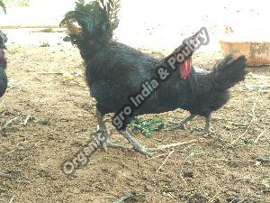 Kadaknath Live Cock