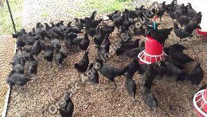 Kadaknath Live Hen