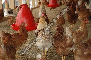 Live Gramapriya Chicken