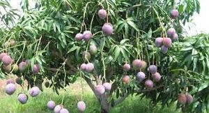 Black Mango Plants