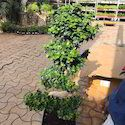 Ficus S Shape Plants