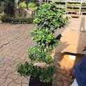 Ficus S Shape Plants