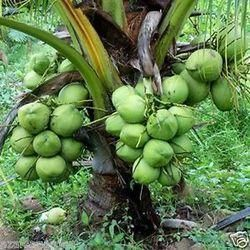 Green Coconut Plants