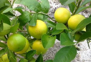 Indian Seedless Lemon Plants