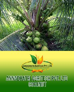 Keralan Coconut Plants