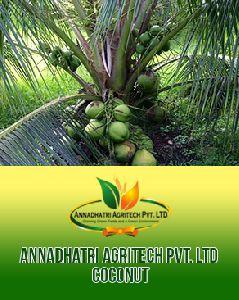 Malaysian Coconut Plants