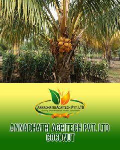 Sri Lankan Coconut Plants