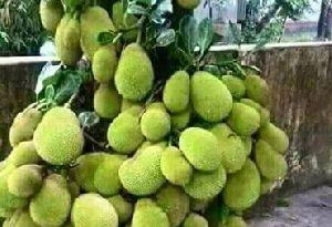 Thai Jackfruit Plants