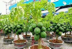 Thai Papaya Plants