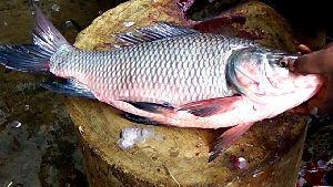 Live Catla Fish