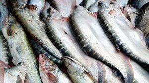 Live Chital Fish