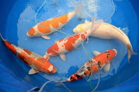 Live Koi Fish