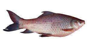 Live Rohu Fish