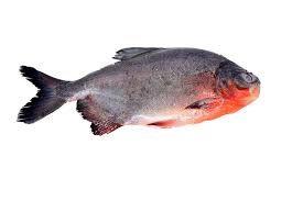 Live Roopchand Fish