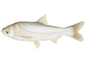 Live Silver Carp Fish