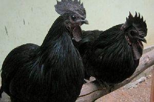 Live Kadaknath Chicken