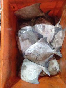 Chinese Pomfret Fish