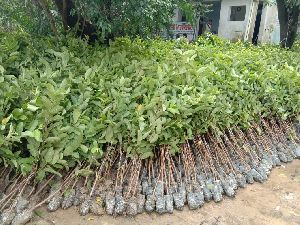 Guava Barafkhana Gola Grafted Plant