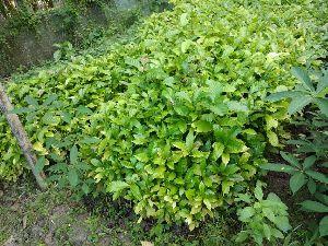 coffee Rubosta plant