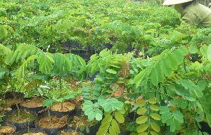 Indian Senna Plant