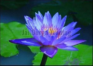 Water Lily Extract