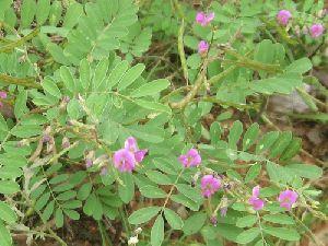 Sharpunkha Plant