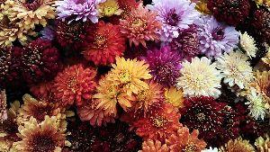 Fresh Australia Chamanthi Flower
