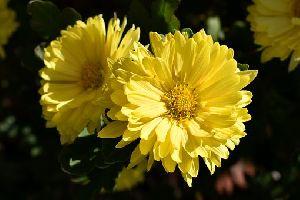 Fresh Yellow Chamanthi Flower
