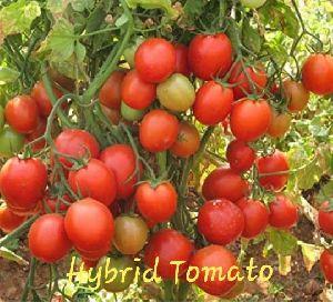 Hybrid Red Tomato