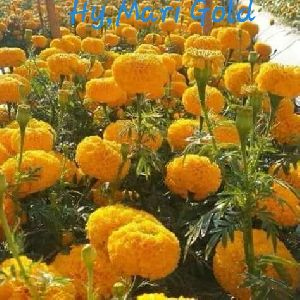 Hybrid Marigold