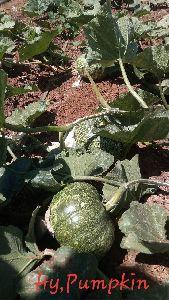 Hybrid Pumpkin