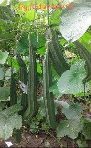 Hybrid Ridge Gourd
