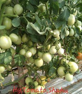 Hybrid green tomato