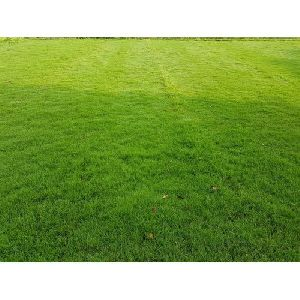 Lawn Grass Plant