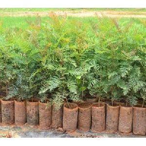 Silver Oak Plant