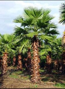 Washingtonia Palm Plant
