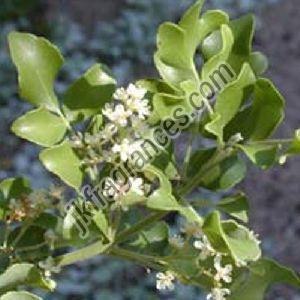 Natural Amyris Oil