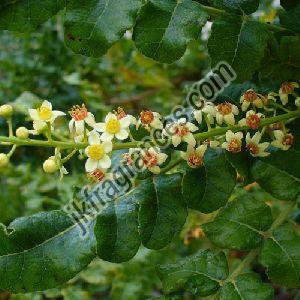 Organic Frankincense Oil