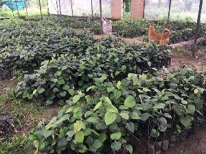 Black Pepper Plants