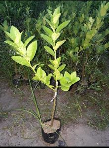 Assam Lemon Plants