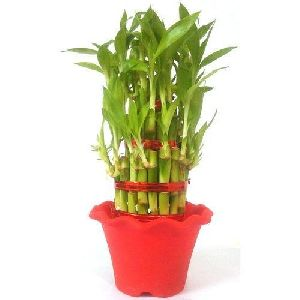 Bamboo Tissue Culture Plant