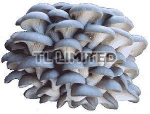Grey Dry Oyster Mushroom